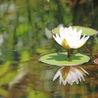 The Deep Roots of the Water Lily